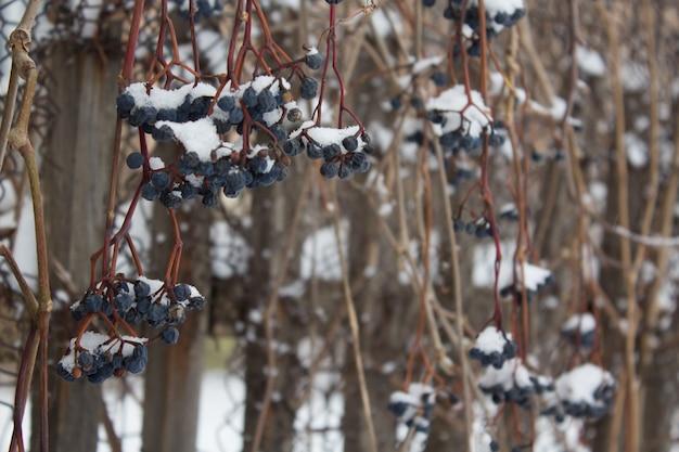 Les baies de la jeune fille vendangent sous la neige, vignes gelées en plein air