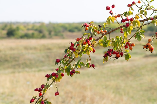 Baies mûres de rose de chien sur la branche