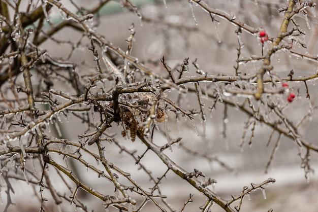 Baies roses de la hanche et branches d'arbres recouvertes de glace