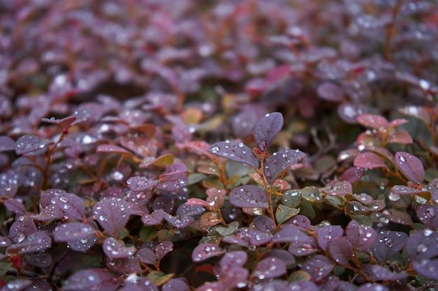 Les baies rouge vif d'un arbuste rouge de l'épine-vinette du japon. (berberis thunbergii f. atropurpurea) tourné après la pluie