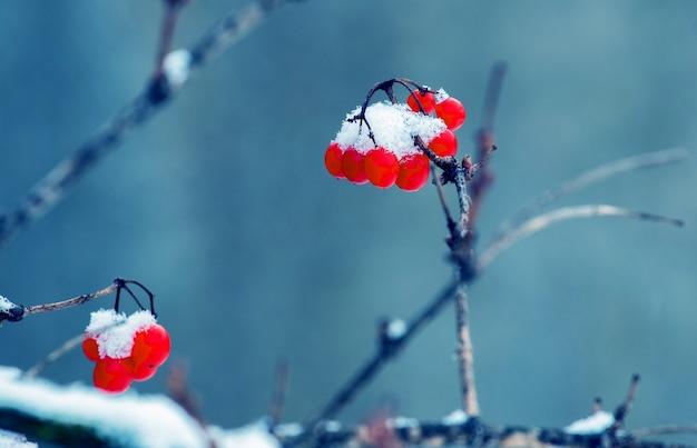 Baies rouges couvertes de neige de viorne sur fond bleu