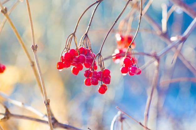 Baies rouges de guelder roseon une branche sur un flou par temps ensoleillé
