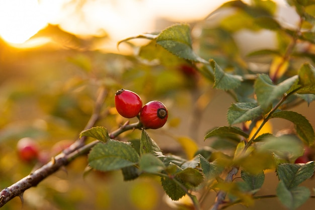 Baies sauvages de chien rose sur une branche dans le parc au coucher du soleil