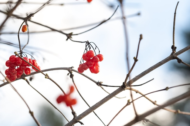 Des baies de viorne rouge mat sont accrochées aux branches d'arbres par une journée d'hiver glaciale