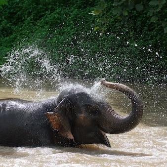 Bain d'éléphant