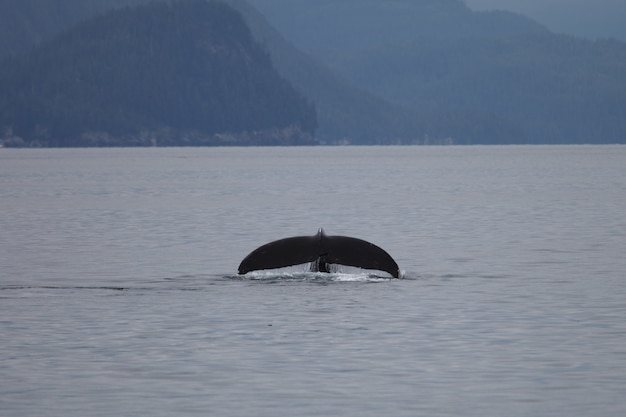 Baleine à bosse douve dans la mer en alaska