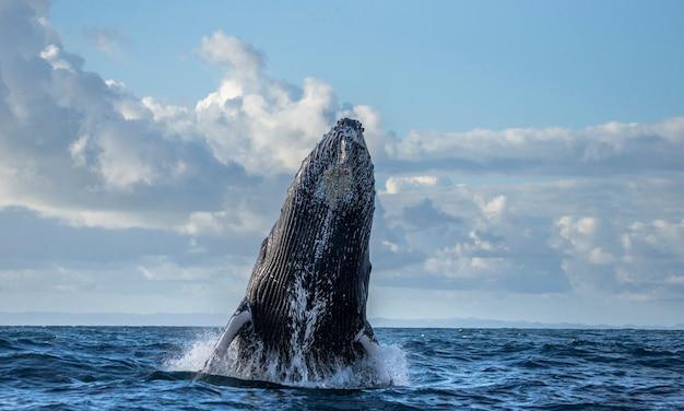 La baleine à bosse saute hors de l'eau. beau saut. . madagascar. île sainte-marie.