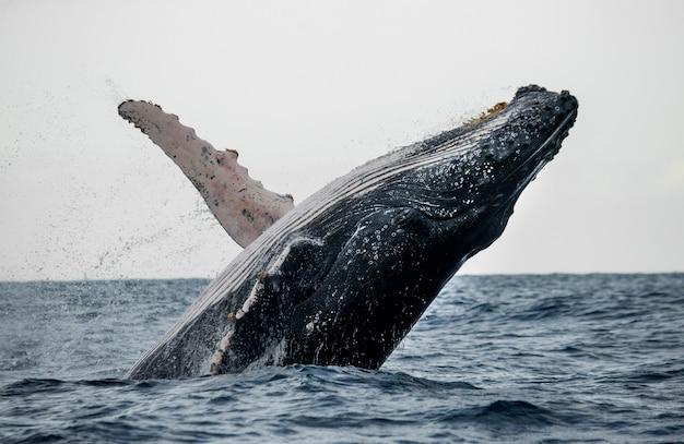 Baleine à bosse saute hors de l'eau