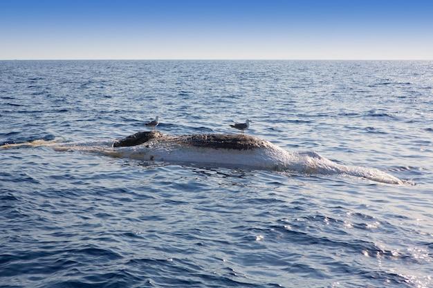 Baleine morte à l'envers flottant dans la mer de l'océan