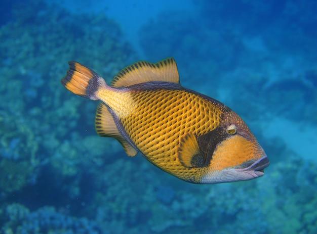 Baliste titan sur un récif de corail