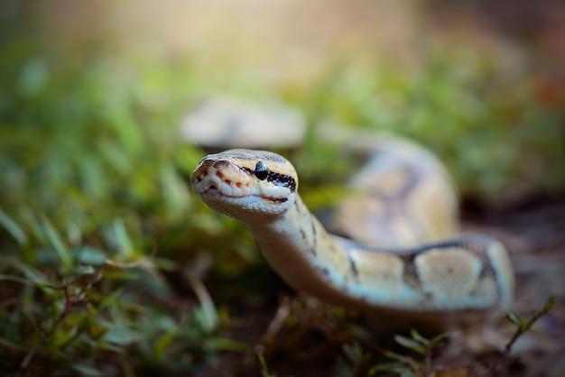 Ball python serpent sur l'herbe dans la forêt tropicale