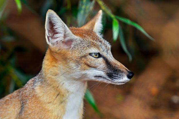 Une balle dans la tête d'un magnifique renard roux