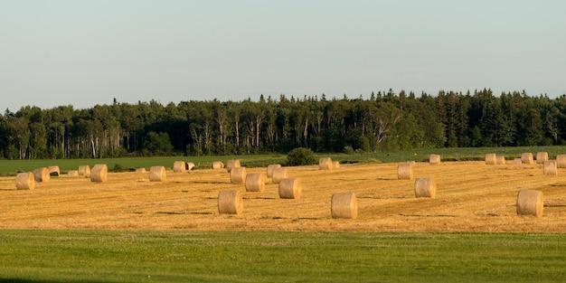 Balles de foin dans un champ, île-du-prince-édouard, canada
