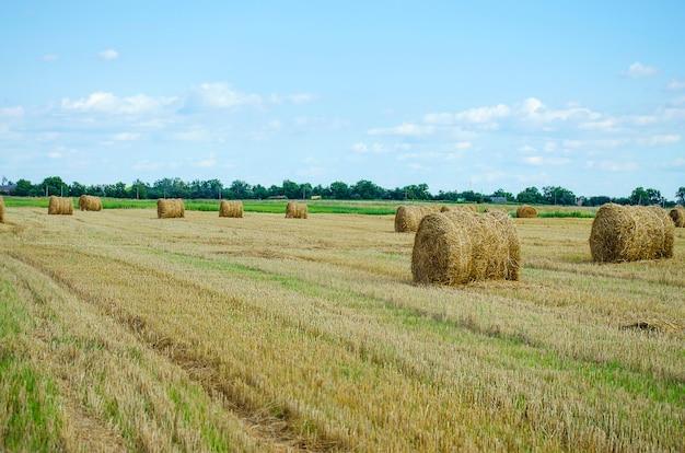Balles rondes de foin dans le champ en saison de récolte