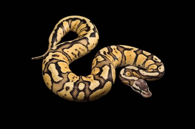 Ballon python femelle. morphing firefly ou mutation