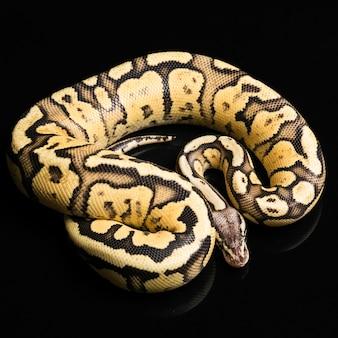 Ballon python femelle