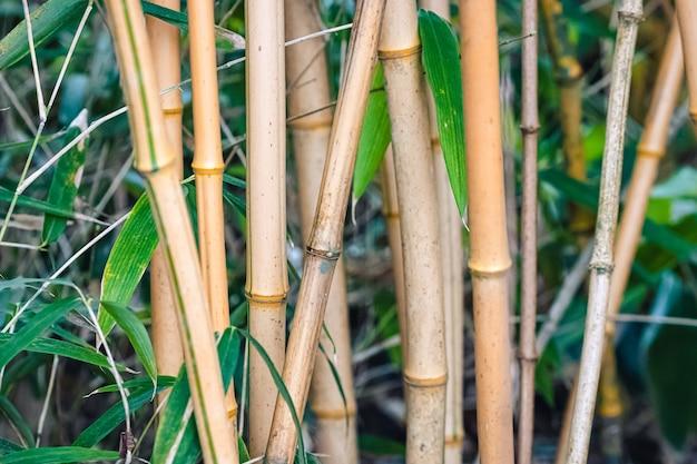 Bambou dans la nature