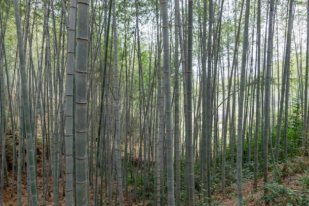 Bambou droit dans la forêt de bambou