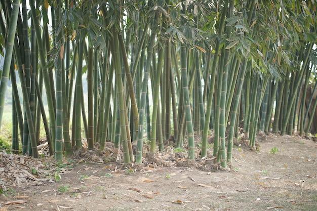 Bambou luxuriant de taiwan dans le parc forestier de jardin