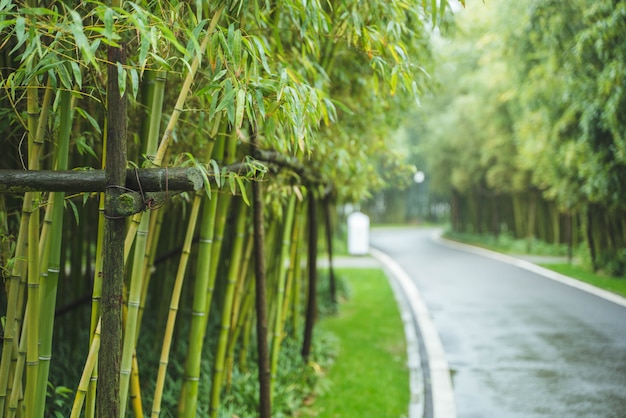 Bambous verts frais en bordure de route