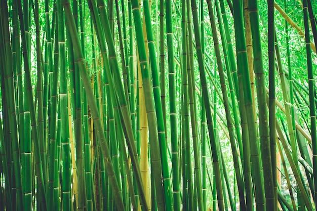 Bambouseraie, fond vert naturel de la forêt de bambous