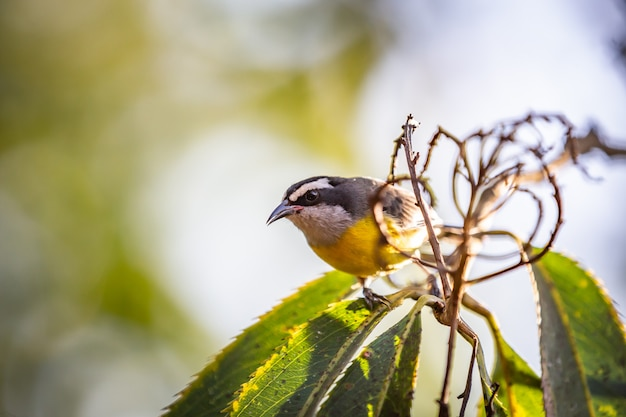 Bananaquits (coereba flaveola) alias d'un oiseau cambacica sur un arbre dans la campagne brésilienne