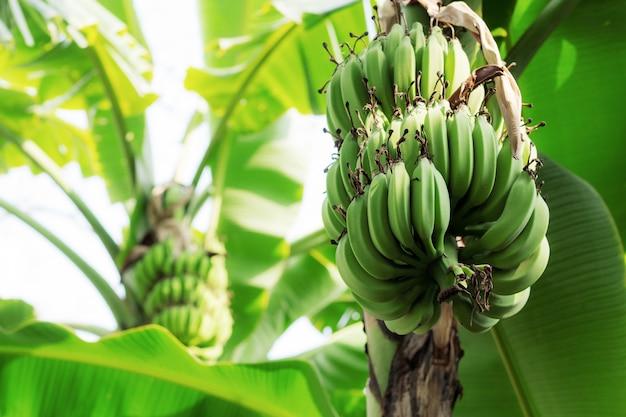 Banane sur arbre au ciel.