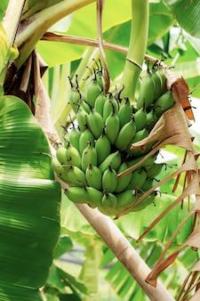 Banane sur l'arbre avec la lumière du soleil.