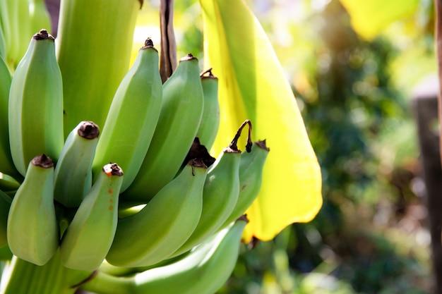 Banane crue dans la ferme.