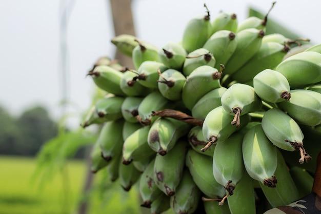 Banane crue à la ferme avec une journée.