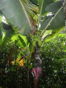 La banane dans le parc aux oiseaux à iguazu, brésil