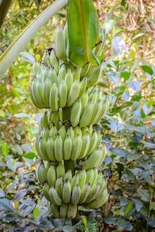Bananes sur un bananier dans la forêt tropicale du parc yanoda, ville de sanya. île de hainan, chine.