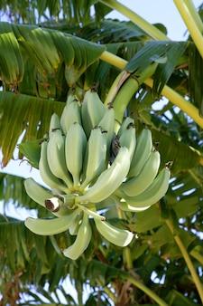 Bananes poussant dans les arbres, toujours de couleur verte