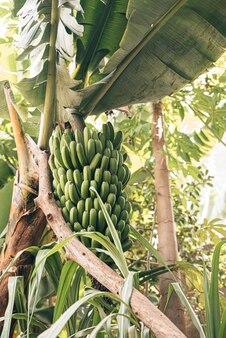 Les bananes vertes tiennent dans l'arbre à la forêt au cap-vert
