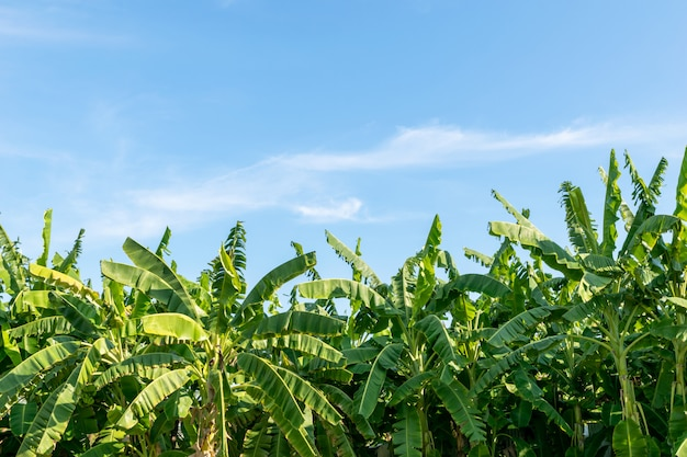 Bananier, arbre, beaucoup, naturel, frais, lumineux