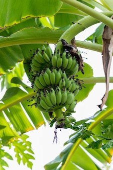 Bananier avec un bouquet de bananes