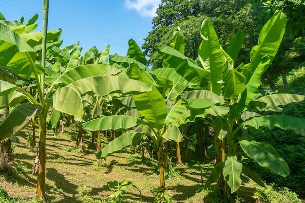 Bananiers dans le parc tsikhisdziri, adjarie, géorgie