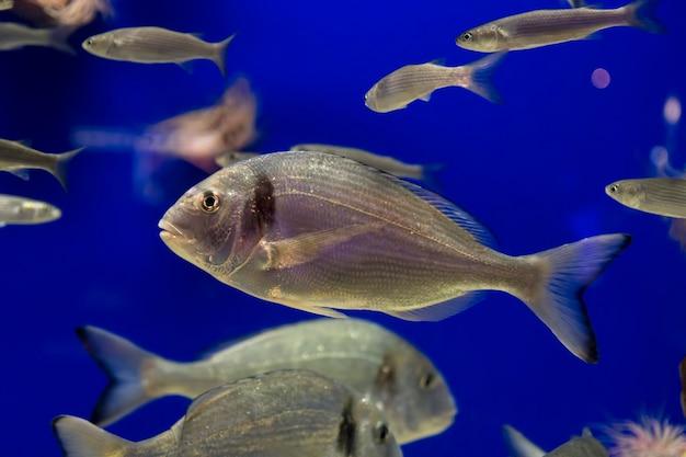 Banc de gros poissons nageant sur fond bleu dans l'aquarium