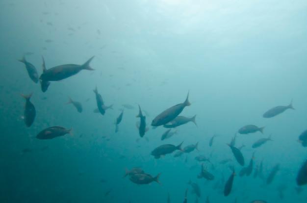 Banc de poissons nageant sous l'eau, île de san cristobal, îles galapagos, équateur