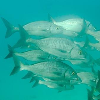 Banc de poissons nageant sous l'eau, île de santa cruz, îles galapagos, équateur