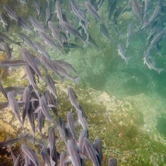Banc de poissons nageant sous l'eau, tagus cove, île isabela, îles galapagos, équateur