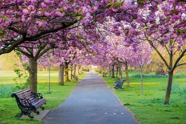 Des bancs sur un chemin avec de l'herbe verte et des fleurs de cerisier ou sakura.