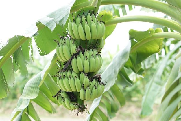 Bande de banane verte dans le jardin