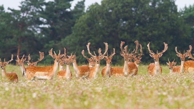 Bande de cerfs cerfs en jachère debout sur prairie dans la nature d'été