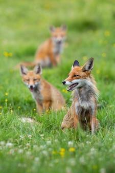 Bande de renard roux assis sur des pâturages verts au printemps