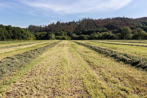 Bandes incurvées d'herbe verte fraîchement tondue pour l'ensilage sur le terrain agricole. pâturages pour l'alimentation animale