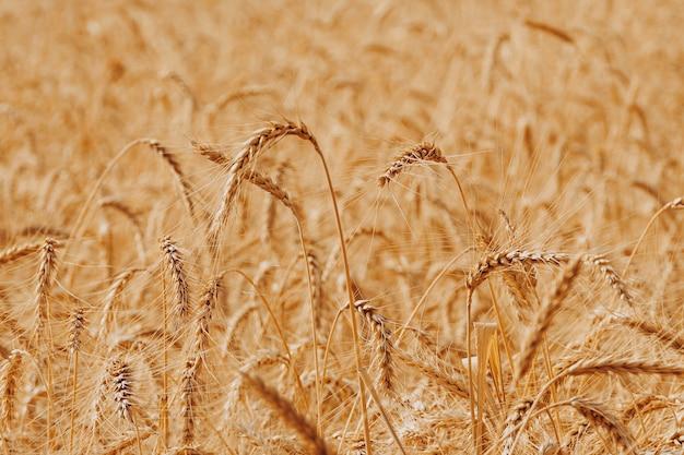 Bannière de blé doré mûr. plan de plus en plus de blé sur terrain