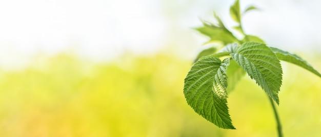 Bannière. branche de framboise avec feuilles vertes en gros plan dans le jardin avant que les plantes ne commencent à fleurir.