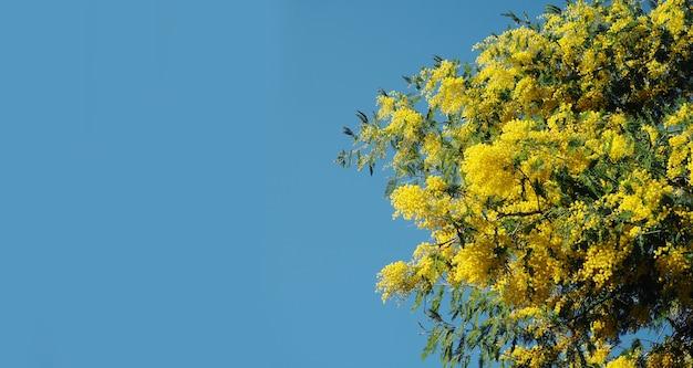 Bannière fleurs de mimosa jaune vif.