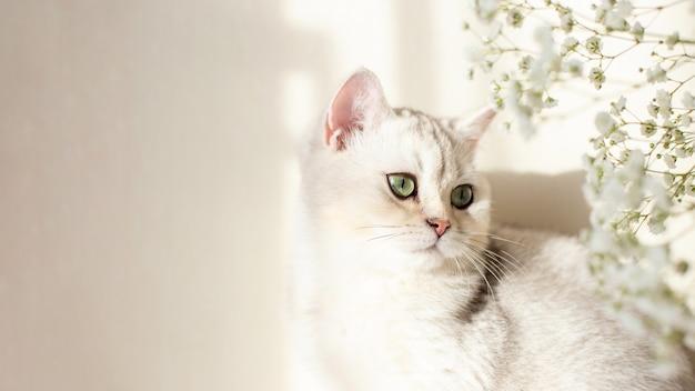 Bannière large chat britannique blanc yeux verts avec fleur gypsophile